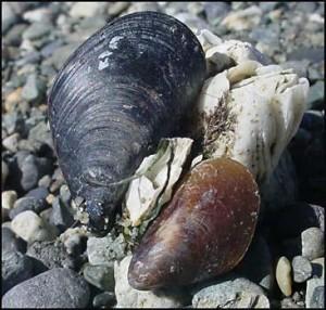 Мидии — морской деликатес