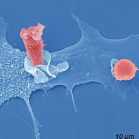 Цитомегаловирус дает ключ к разгадке работы иммунной системы