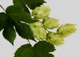 Хмель – здоровые сюрпризы для любителей пива