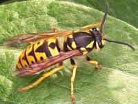 Осторожно осы!