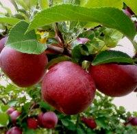 Кто яблоко в день съедает, у доктора не бывает