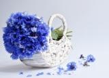 Волошка синя: у багатьох іпостасях