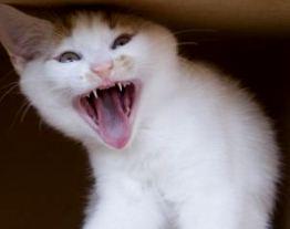 Кошачий укус может отправить вас в больницу