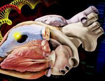 Ненаследуемые мутации генов объясняют многие врожденные пороки сердца