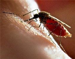 Запах человека привлекает комаров, инфицированных малярией, сильнее, чем здоровых
