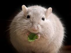 Существует прямая связь между ожирением и раком поджелудочной железы