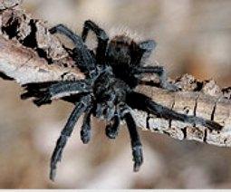 Яд тарантула может стать эффективным болеутоляющим средством