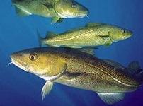 Рыбный белок помогает подавлять развитие раковых метастаз
