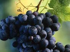 Соединение, содержащееся в винограде и красном вине, поможет лечить различные типы рака