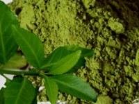 Выявлен механизм действия экстракта зеленого чая в профилактике рака молочной железы